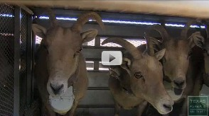 Video of bighorn sheep being released in Big Bend Ranch State Park