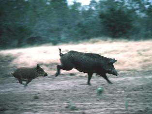 Feral Hogs