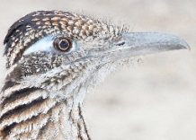 Greater Roadrunner by Kelly Sampeck